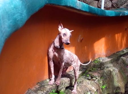メキシコ犬.jpg